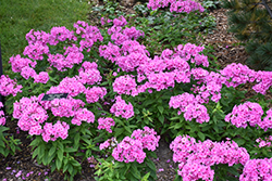 Pink Flame Garden Phlox (Phlox paniculata 'Pink Flame') at Gardener's Supply Company