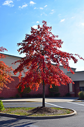 Pin Oak (Quercus palustris) at Gardener's Supply Company