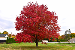 Red Maple (Acer rubrum) at Gardener's Supply Company