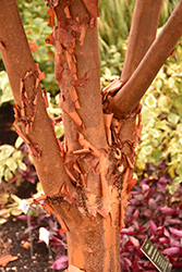 Paperbark Maple (Acer griseum) at Gardener's Supply Company