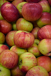 Cortland Apple (Malus 'Cortland') at Gardener's Supply Company