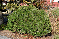 Shamrock Inkberry Holly (Ilex glabra 'Shamrock') at Gardener's Supply Company