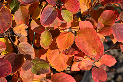 Mt. Airy Fothergilla (Fothergilla major 'Mt. Airy') at Gardener's Supply Company