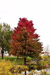 Red Sunset Red Maple (Acer rubrum 'Red Sunset') at Gardener's Supply Company