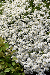 Candytuft (Iberis sempervirens) at Gardener's Supply Company