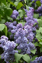 Wedgewood Blue Lilac (Syringa vulgaris 'Wedgewood Blue') at Gardener's Supply Company