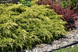 Gold Lace Juniper (Juniperus x media 'Gold Lace') at Gardener's Supply Company