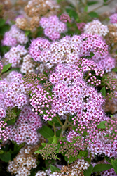 Little Princess Spirea (Spiraea japonica 'Little Princess') at Gardener's Supply Company