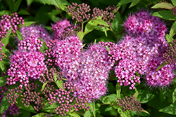 Anthony Waterer Spirea (Spiraea x bumalda 'Anthony Waterer') at Gardener's Supply Company