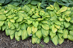 Stained Glass Hosta (Hosta 'Stained Glass') at Gardener's Supply Company