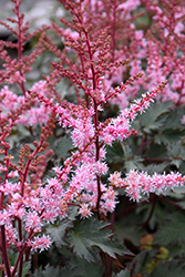 Delft Lace Astilbe (Astilbe 'Delft Lace') at Gardener's Supply Company