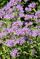 Blue Stocking Beebalm (Monarda didyma 'Blue Stocking') at Gardener's Supply Company