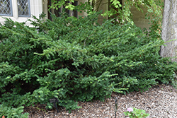 Ward's Yew (Taxus x media 'Wardii') at Gardener's Supply Company