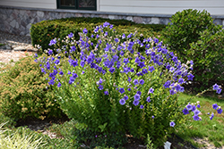 Astra Double Blue Balloon Flower (Platycodon grandiflorus 'Astra Double Blue') at Gardener's Supply Company