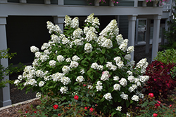 Fire Light® Hydrangea (Hydrangea paniculata 'SMHPFL') at Gardener's Supply Company