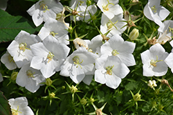 White Clips Bellflower (Campanula carpatica 'White Clips') at Gardener's Supply Company