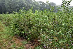 Bluecrop Blueberry (Vaccinium corymbosum 'Bluecrop') at Gardener's Supply Company