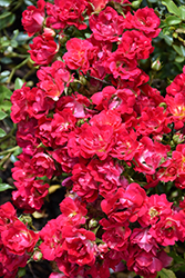 Red Drift® Rose (Rosa 'Meigalpio') at Gardener's Supply Company