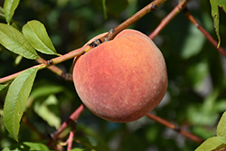 Redhaven Peach (Prunus persica 'Redhaven') at Gardener's Supply Company