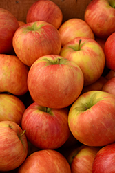 Honeycrisp Apple (Malus 'Honeycrisp') at Gardener's Supply Company