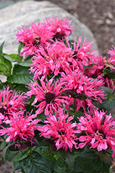 Cranberry Lace Beebalm (Monarda 'Cranberry Lace') at Gardener's Supply Company