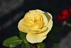High Voltage Rose (Rosa 'BAIage') at Gardener's Supply Company
